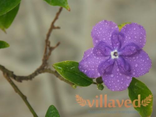 Цветок брунфельсии крупным планом