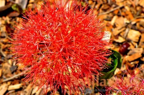 Кровавый цветок гемантус