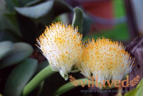 Гемантус белоцветковый (Haemanthus albiflos)