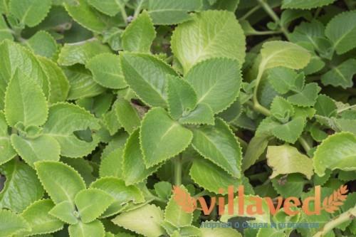 Гинура Прокумбенс. Ее листья способствуют снижению сахара в крови