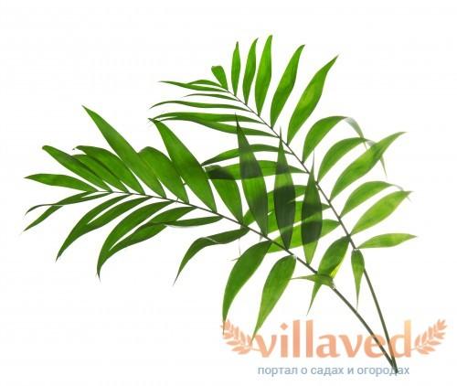 Зеленые листья пальмы ховеи