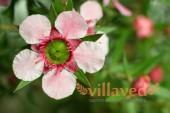 Цветок Манука (Лептоспермум)