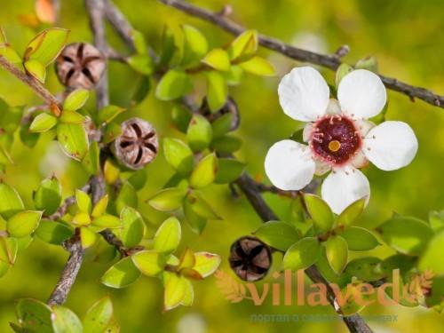 Цветок лептоспермума