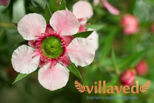Розовый манука крупным планом