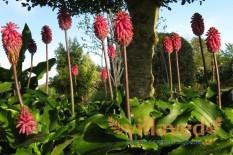Цветок Вельтгеймия