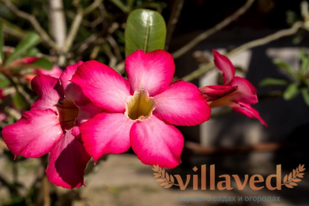 Как выглядят семена адениума — Цветок домашний