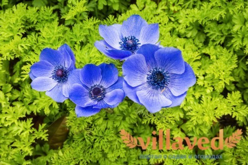 Синие анемоны