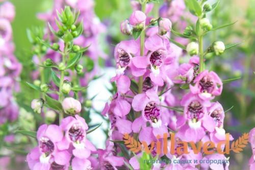 Фиолетовые цветки ангелонии
