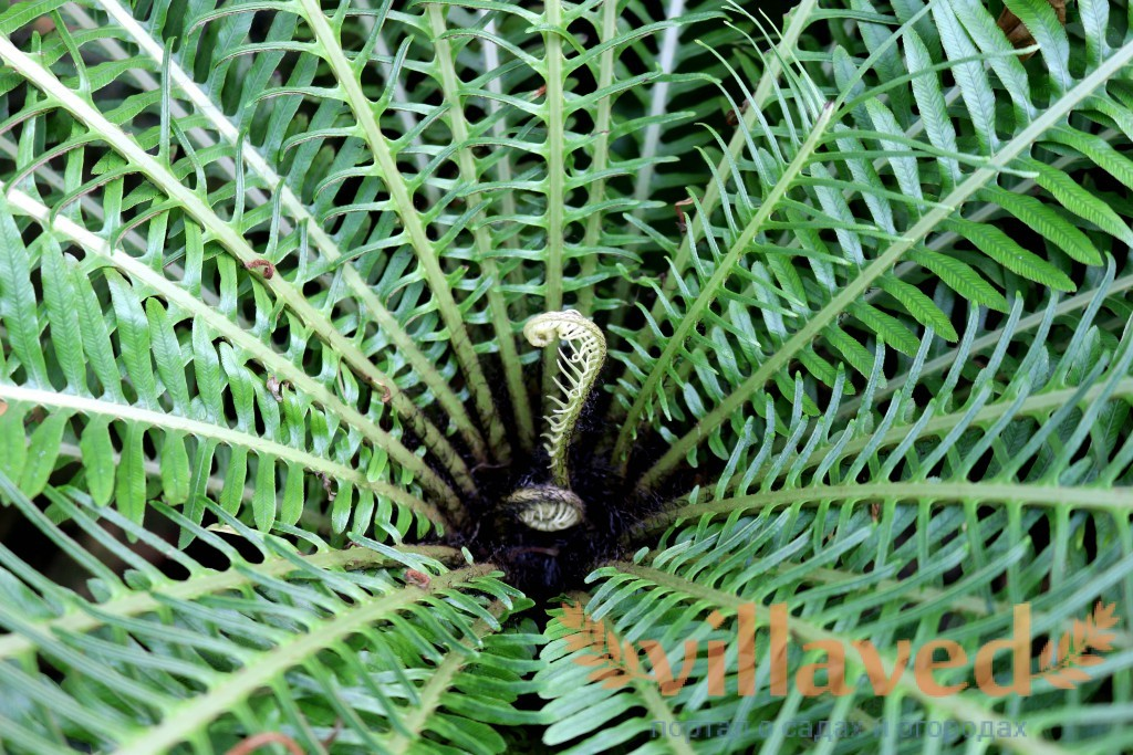 CategoryBlechnum spicant  Wikimedia Commons