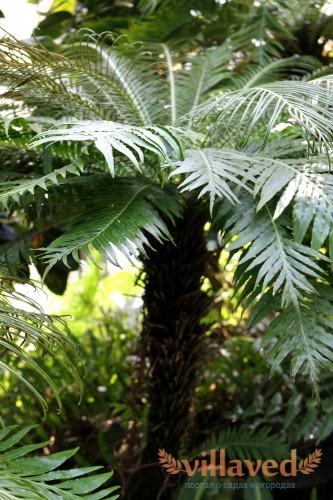 Большое дерево блехнума