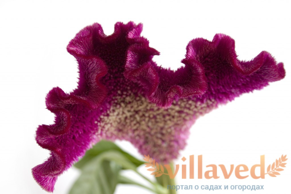Сухостой цветок фото