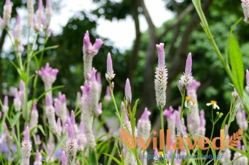 Цветок как петушиный гребень