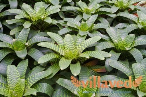 Зеленые листья эхмеи