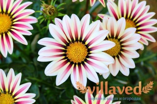 Полевой цветок газания