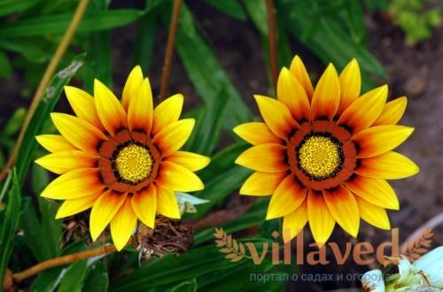 Желтая газания в саду