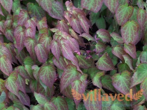 Эпимедиум крупноцветковый с молодыми листьями