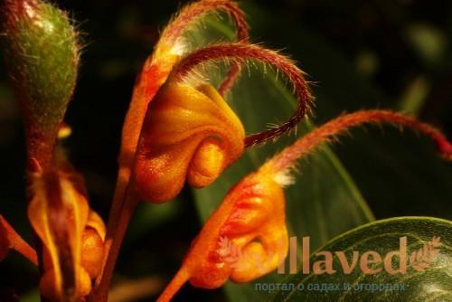 Grevillea marmalade