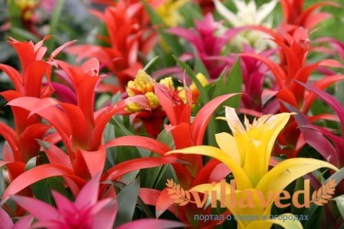 Разнообразие цветовой гаммы цветка гусмании
