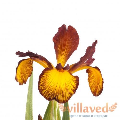 Желто-коричневый цветок ириса спуриа