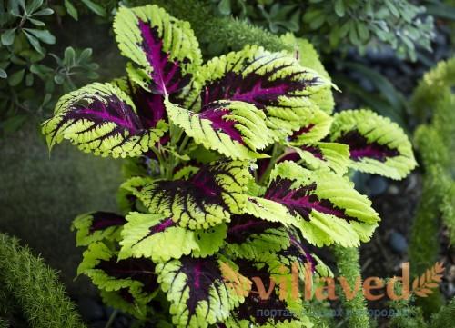 Красочный зелено-фиолетовый колеус