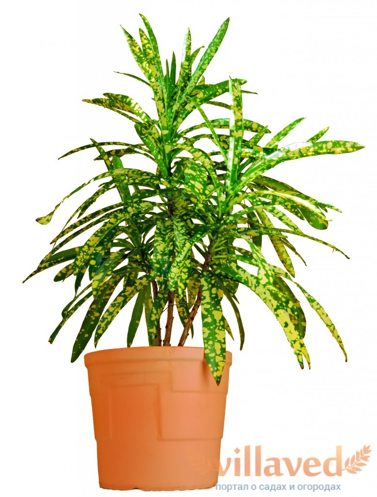 Кротон — Codiaeum: фото, условия выращивания, уход и размножение