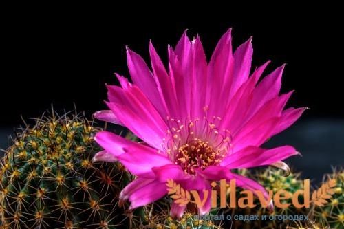 Фиолетовый цветок кактуса Lobivia