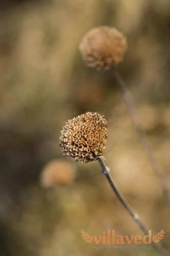 Дикий бергамот (Monarda fistulosa)