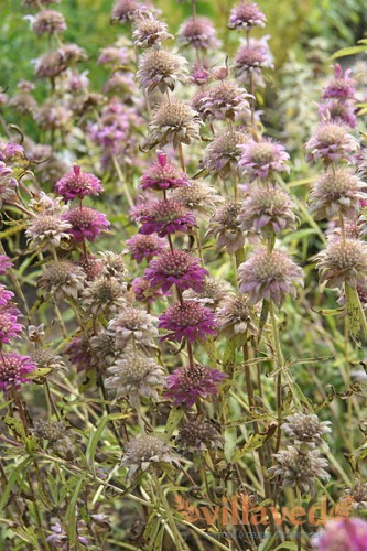 Monarda citriodora
