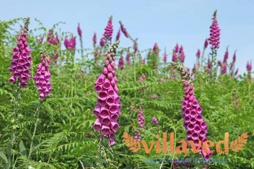 Растущие цветы наперстянки в поле