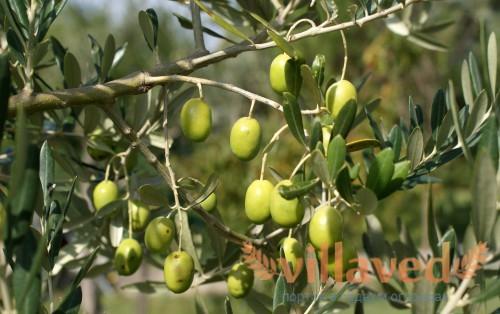 Маслиновые деревья