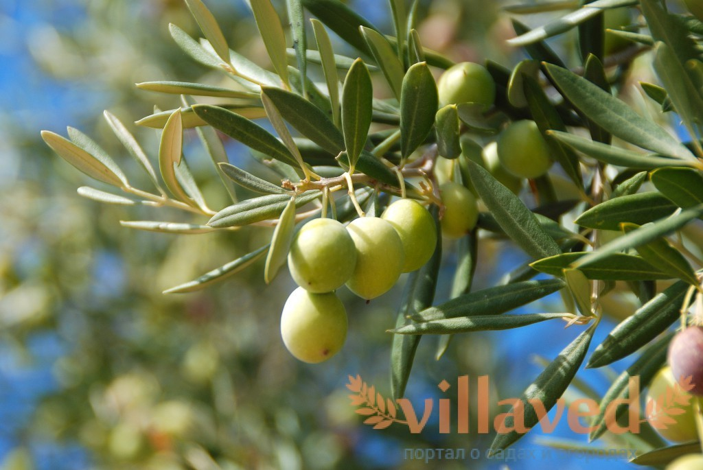 фото оливковые деревья