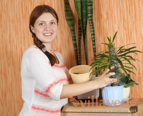Пересадка кактуса пахиподиума в новый горшок