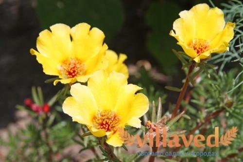 Желтые цветы портулака (Moss Rose)