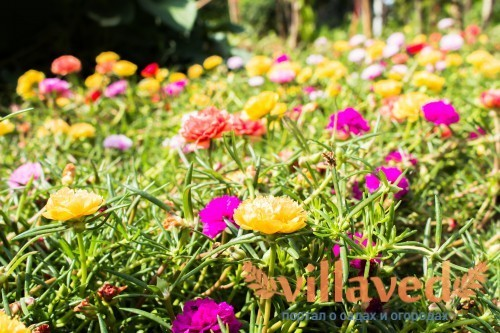 Красивый и красочный портулак (Таиланд)