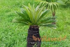 Пальма сабаль