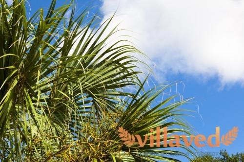 Тропическая пальма сабаль с веерами листьев