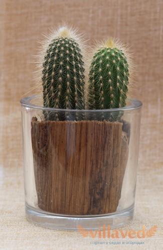 Начало жизни кактуса