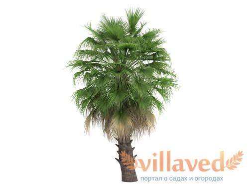 Пальма вашингтония