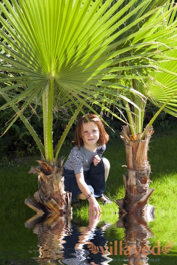 Пальма вашингтония фото уход в домашних условиях