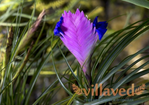 Vriesea