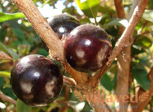 Myrciaria caulifloria