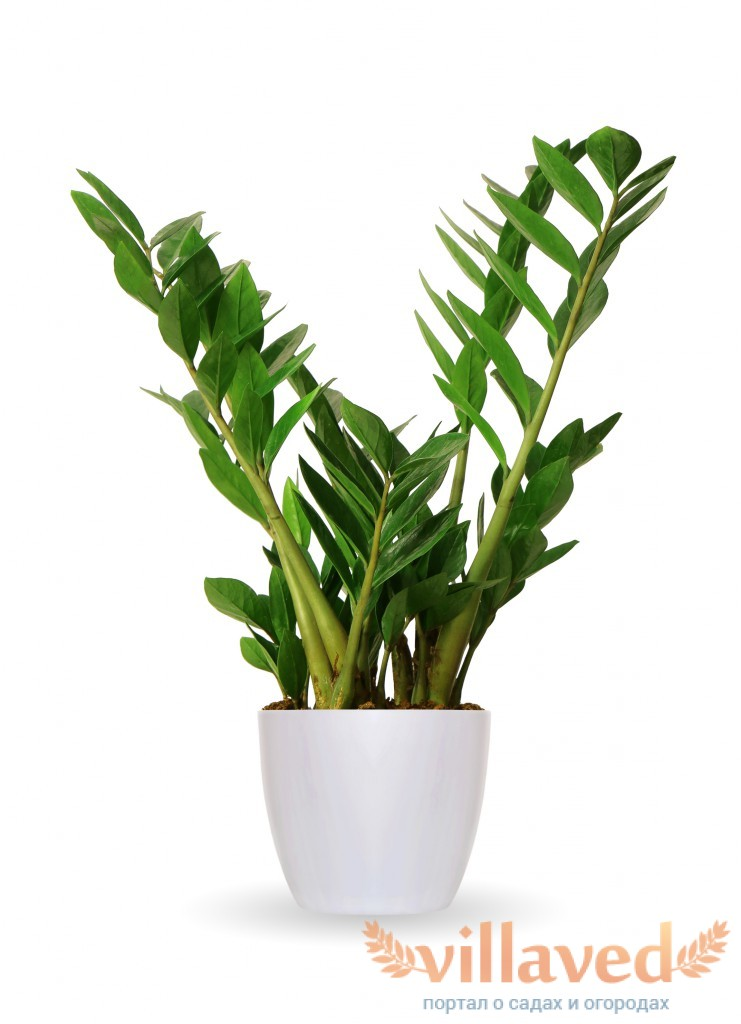 Долларовое дерево уход в домашних условиях или