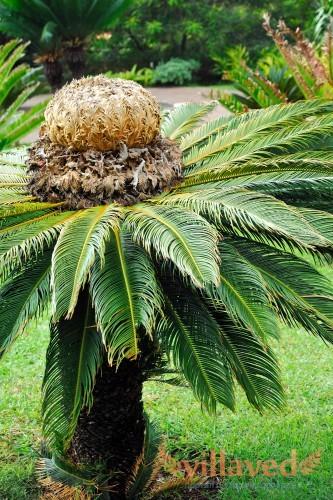 Cycas revoluta уход в домашних условиях