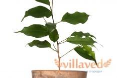 Фикус бенджамина может сбрасывать листья