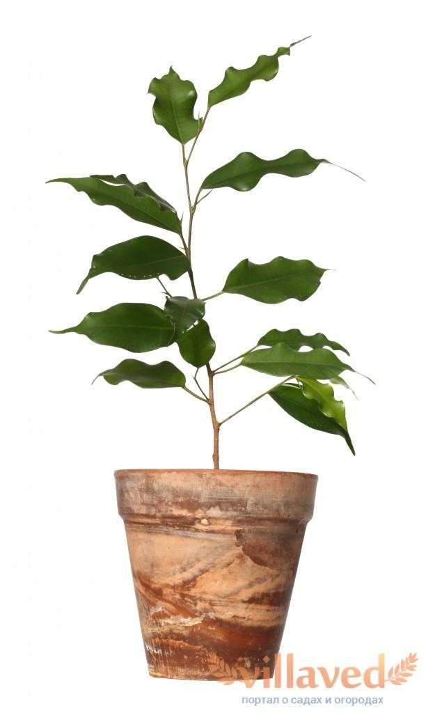 Фикус уход в домашних условиях опадают листья 80