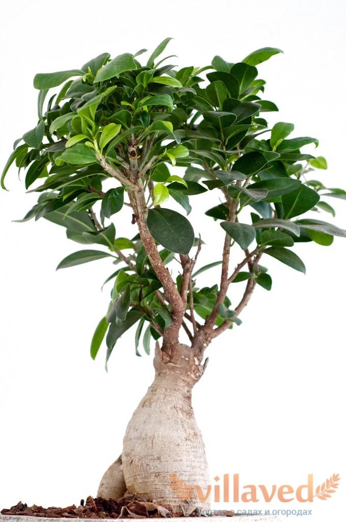растение фикус эластика уход в домашних условиях
