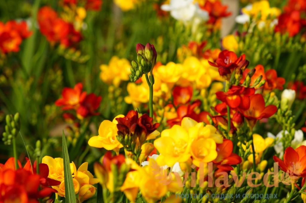 Выращивание редиса Цветы орхидеи, выращивание 25