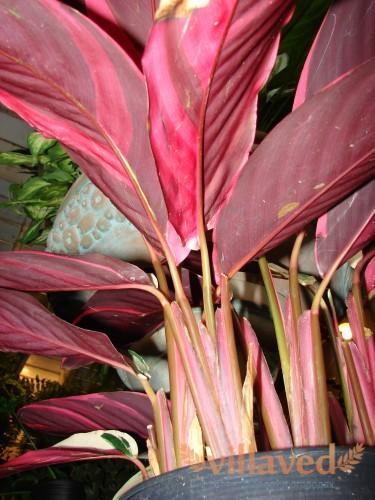 Листья у цветка имеют своеобразный окрас