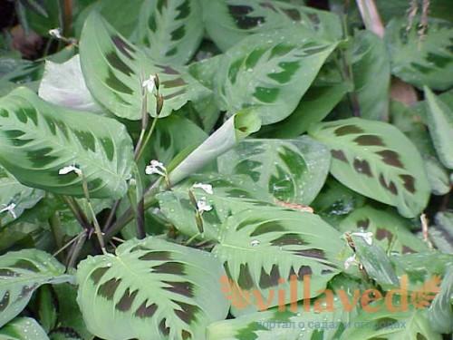 Маранта беложильчатая  Maranta leuconeura маранта фото