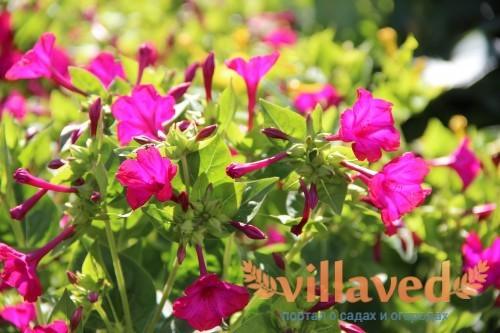 Цветок из семейства никтагиновых (Nyctaginaceae)